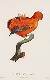 Male Cock-of-the Rock, c.1801/06 by Jacques Barraband | Giclée Paper Print