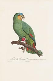 Fem. du Perroquet Aouro-couraou, c.1801/05 by Jacques Barraband | Giclée Paper Print