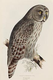 Great Cinereous Owl, c.1832/37 by John Gould | Giclée Paper Print