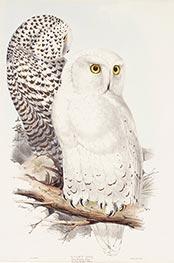 Snowy Owl, c.1832/37 by John Gould | Giclée Paper Print