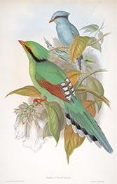 Cissa Venatoria, c.1850/81 by John Gould | Giclée Paper Print