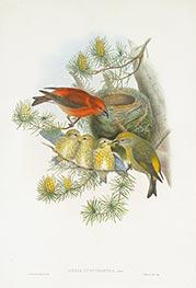 Loxia Curvirostra, Linn, c.1862/73 by John Gould | Giclée Paper Print