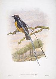 Pteridophora Alberti, Meyer, c.1875/81 by John Gould | Giclée Paper Print