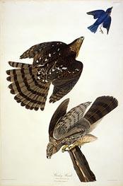 Stanley Hawk, undated by Audubon | Giclée Paper Print