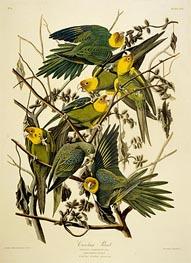 Carolina Parrot. Psittacus. From Birds of America, 1827 by Audubon | Giclée Paper Print
