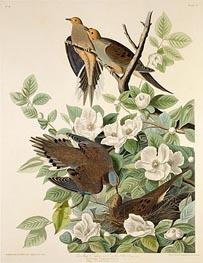 Carolina Pigeon or Turtle Dove, c.1825 by Audubon | Giclée Paper Print