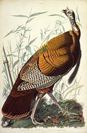 Great American Cock, Male, VULGO (Wild Turkey) Meleagris Gallopavo, 1825 by Audubon | Giclée Paper Print