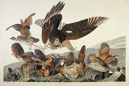 Virginian Partridge, Perdix Virginiana, 1830 by Audubon | Giclée Paper Print