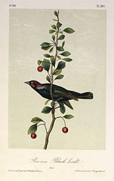 Audubon | Brewers Black Bird | Giclée Paper Print