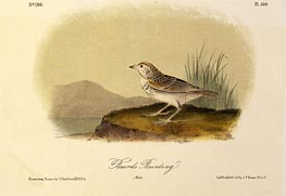 Baird's Bunting, a.1843 by Audubon | Giclée Paper Print