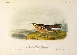 Smith's Lark Bunting, a.1843 by Audubon | Giclée Paper Print