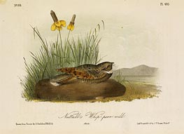 Audubon | Nuttall's Whip-Poor-Will, a.1843 | Giclée Paper Print