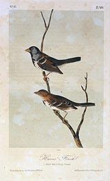Audubon | Harris' Finch, a.1843 | Giclée Paper Print