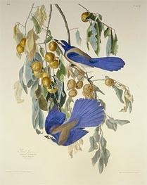 Florida Jay. Garrulus Floridanus. From Birds of America, 1830 by Audubon | Giclée Paper Print