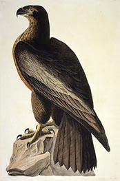 Audubon | The Bird of Washington or Great American Sea Eagle, 1822 | Giclée Paper Print