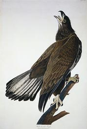 Audubon | White-Headed Eagle, undated | Giclée Paper Print