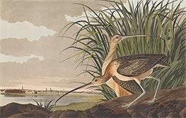 Audubon | Long-Billed Curlew, 1834 | Giclée Paper Print