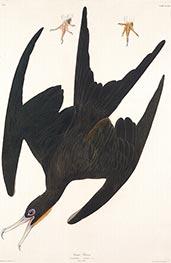 Frigate Pelican, 1835 by Audubon | Giclée Paper Print