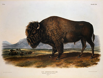 Bos Americanus, American Bison or Buffalo, 1845 | Audubon | Painting Reproduction