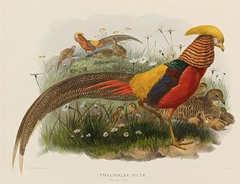 Thaumalea Picta (Golden Pheasant), c.1870/72 by Joseph Wolf | Giclée Paper Print