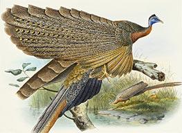 Phadianidae. Argusianus Grayli, c.1870/72 by Joseph Wolf | Giclée Paper Print